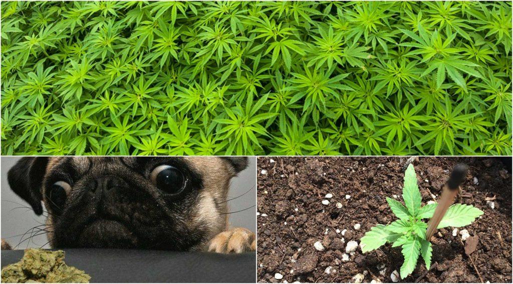 La marihuana, sus efectos y características