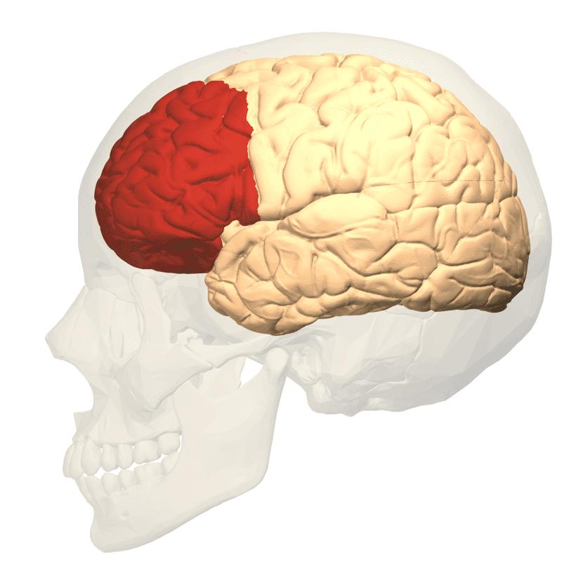 Ubicación y función del córtex cerebral