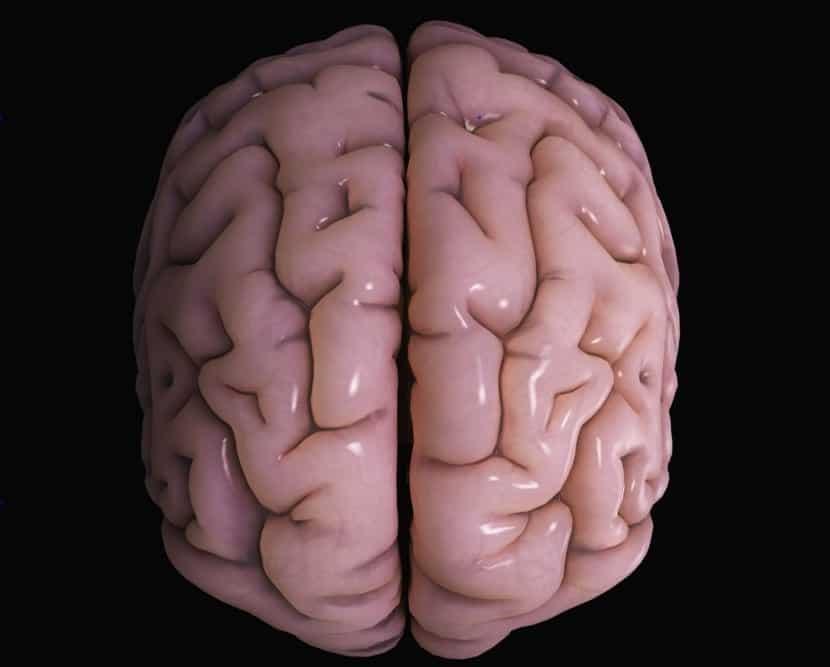 El córtex cerebral nos hace humanos