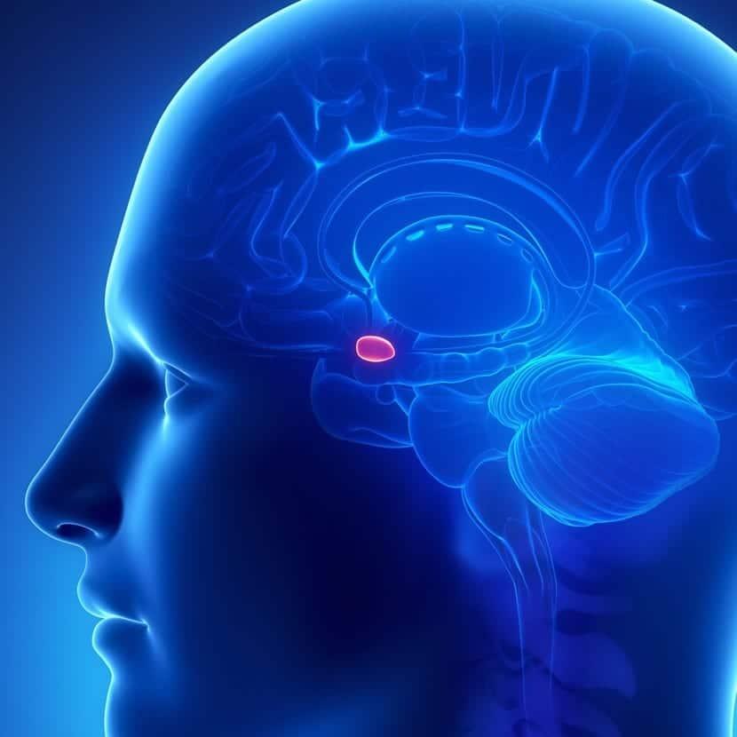 glandula pineal en la cabeza de una persona